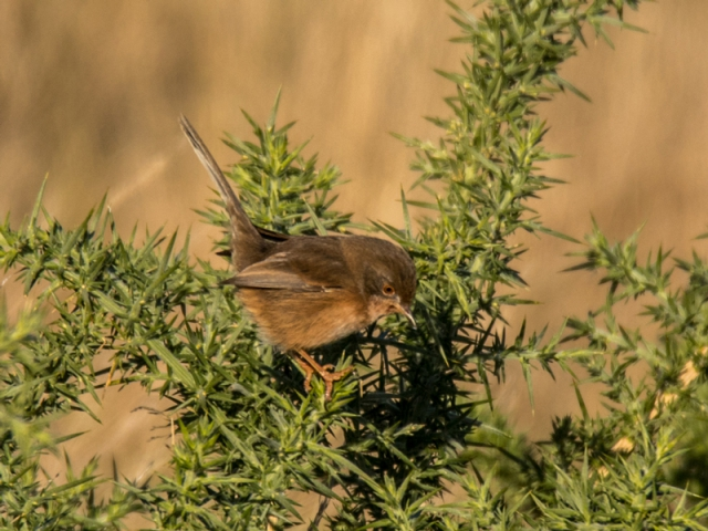 Dartford Warbler by Mike Duffy - Oct 29th, Pennington Marshes