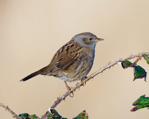 Dunnock by Gareth Rees - Oct 29th, Keyhaven Marshes