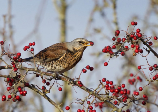 Fieldfare by Martin Bennett - Nov 14th, Furze Hill