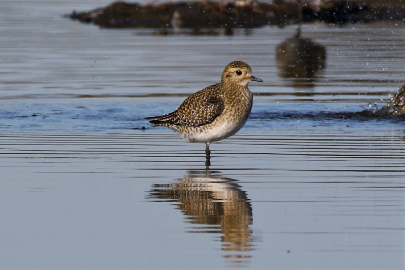 Golden Plover by Andy Tew - Oct 24th, Pennington Marshes
