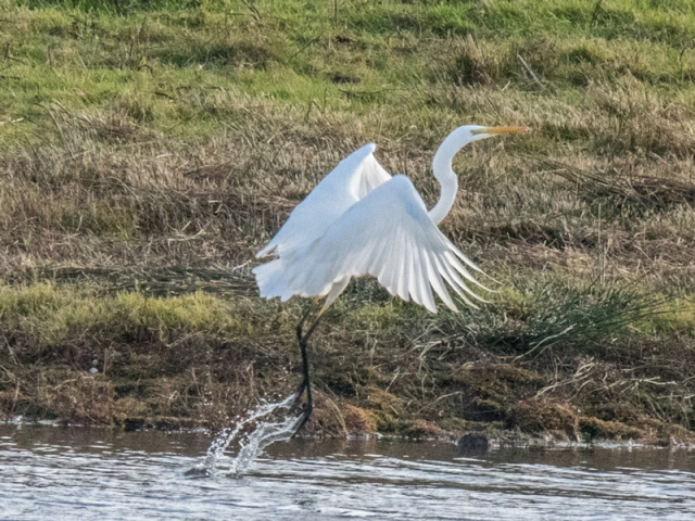 Great White Egret by Mike Duffy - Nov 14th, Testwood Lakes