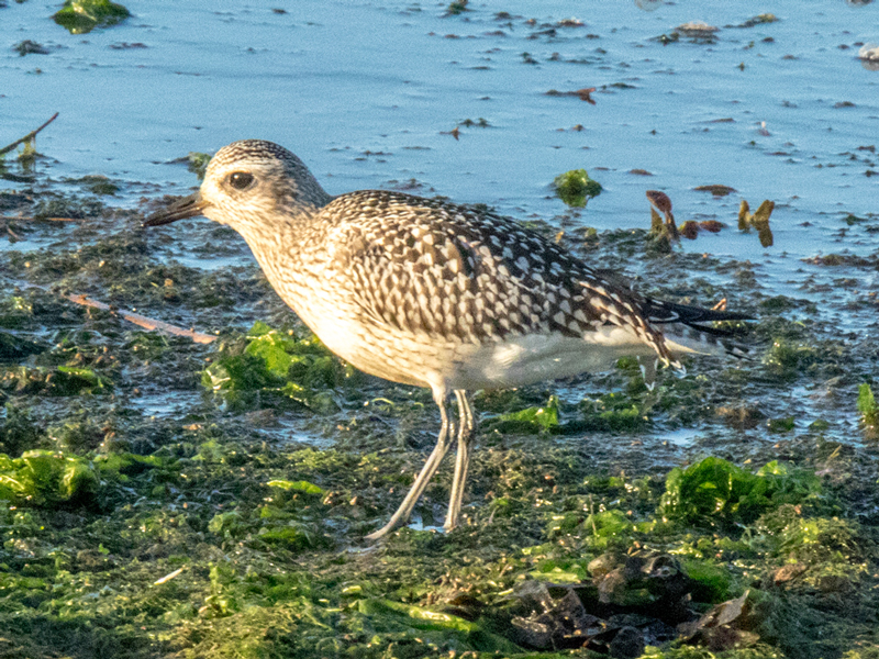 Grey Plover by Mike Duffy - Nov 13th, Keyhaven