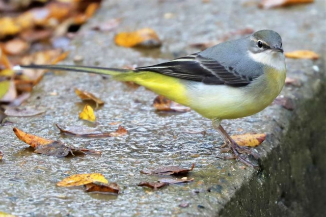 Grey Wagtail by Brian Cartwright - Nov 14th, Anton Lake