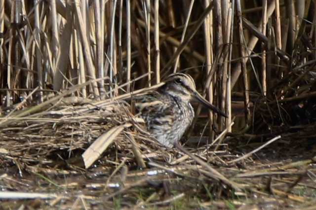 Jack Snipe by Andy Tew - Nov 5th, Lower Test Marshes