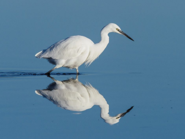 Little Egret by Gareth Rees - Nov 2nd, Pennington Marshes