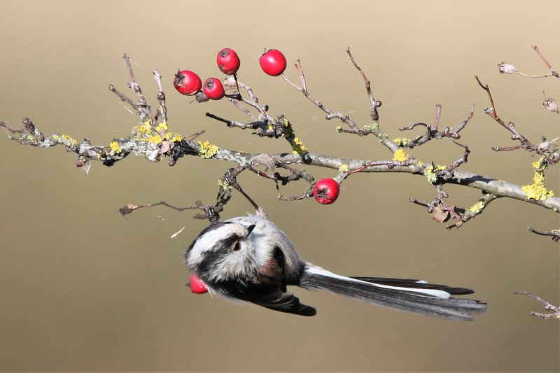 Long-tailed Tit by Andy Tew - Nov 1st, Lower Test Marshes