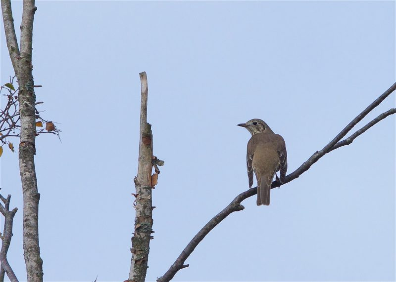 Mistle Thrush by Martin Bennett - Nov 8th, Furze Hill