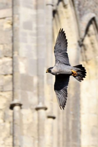 Peregrine by Brian Cartwright - Oct 27th, Andover