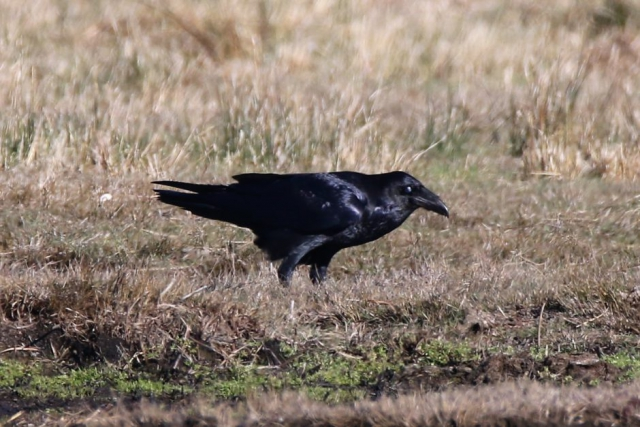 Raven by Andy Tew - Oct 24th, Pennington Marshes