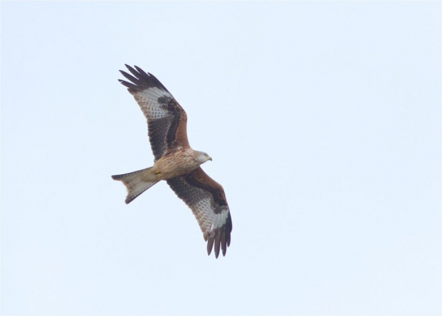 Red Kite by Martin Bennett - Nov 9th, Furze Hill
