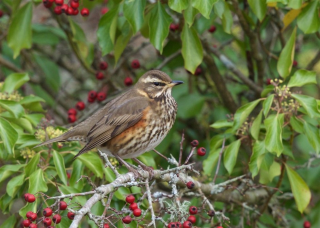 Redwing by Martin Bennett - Nov 9th, Furze Hill