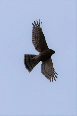 Sparrowhawk by Brian Cartwright - Nov 20th, Anton Lake