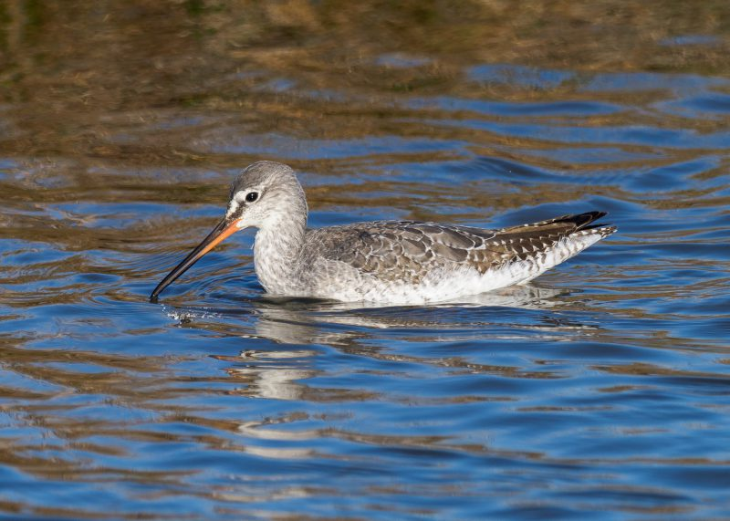 Spotted Redshank by Gareth Rees - Oct 29th, Pennington Marshes