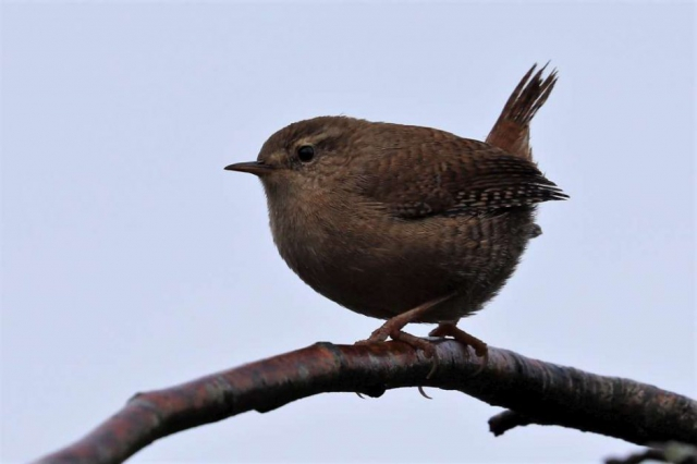 Wren by Brian Cartwright - Nov 1st, Anton Lake