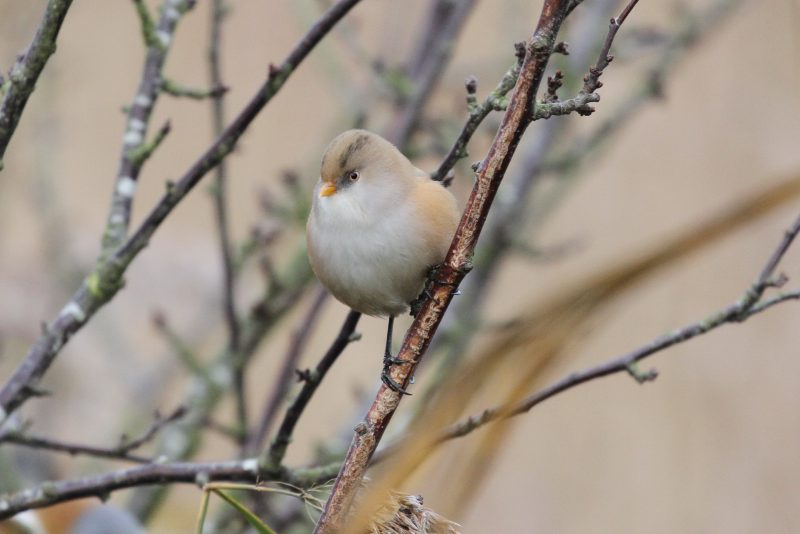 Bearded Tit by Bob Marchant - Dec 4th, Hook Lake