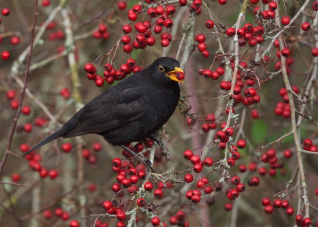 Blackbird by Martin Bennett - Nov 23rd, Furze Hill
