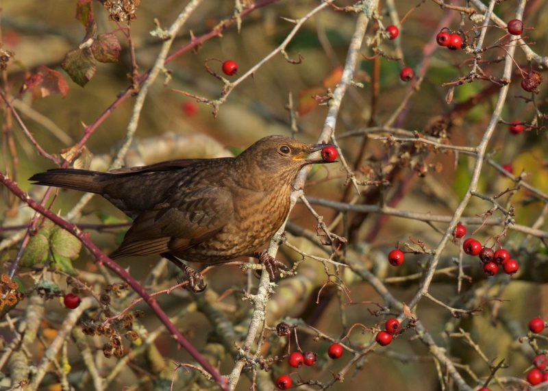 Blackbird (f) by Martin Bennett - Nov 23rd, Furze Hill