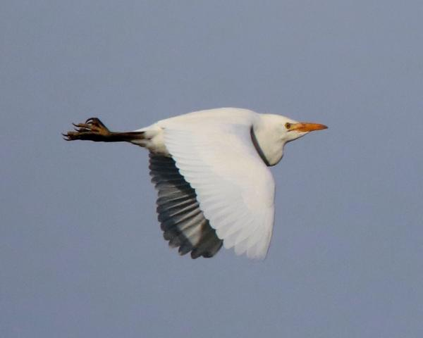 Cattle Egret by Andy Tew - Dec 3rd, Romsey