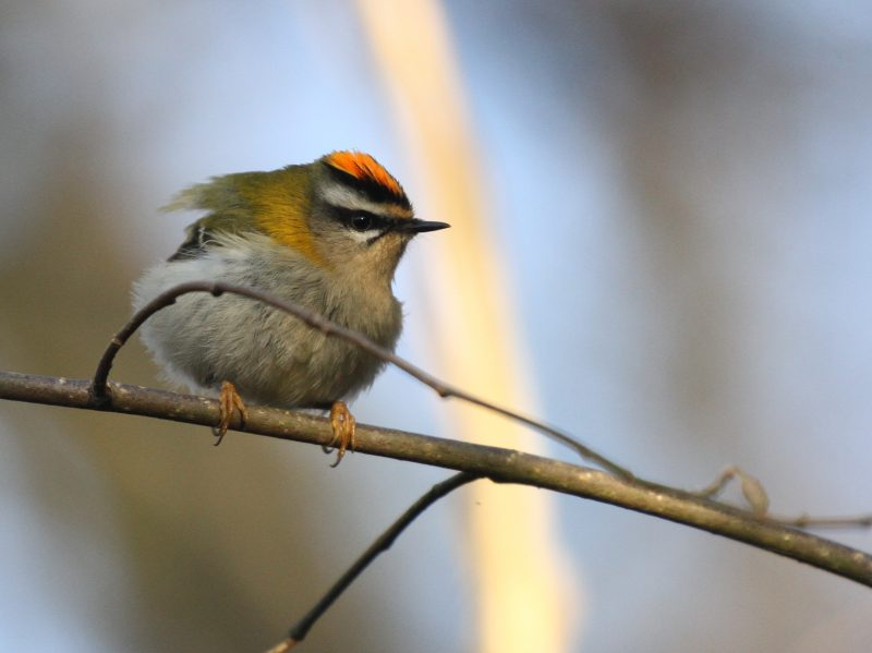 Firecrest by Bob Marchant - Dec 14th, Holly Hill