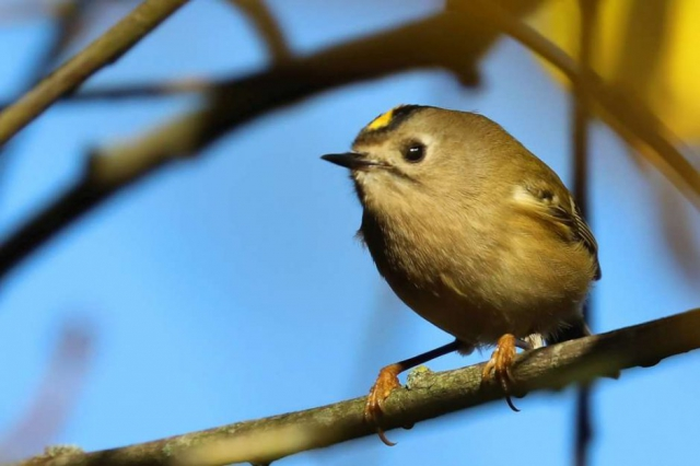 Goldcrest by Brian Cartwright - Nov 29th, Anton Lakes