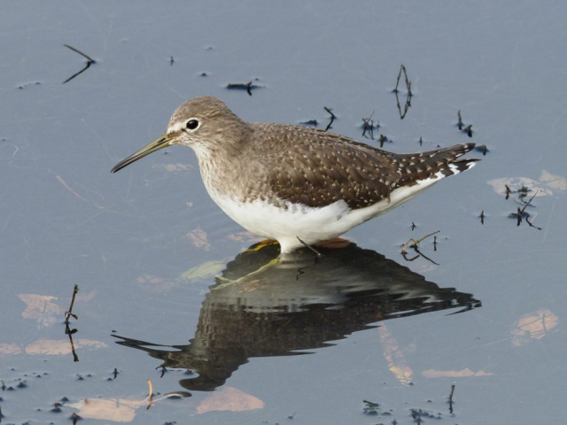 Green Sandpiper by Gareth Rees - Nov 22nd, Blashford Lakes