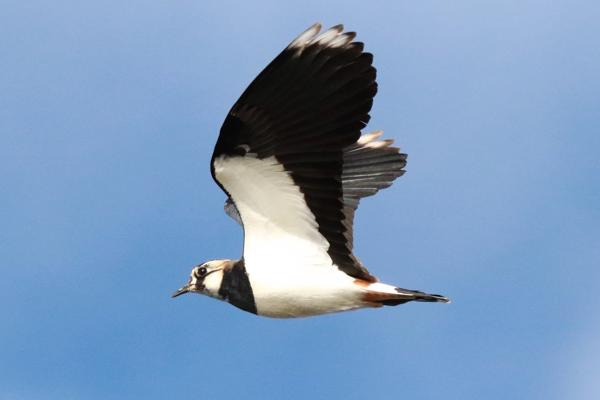 Lapwing by Andy Tew - Dec 8th, Pennington