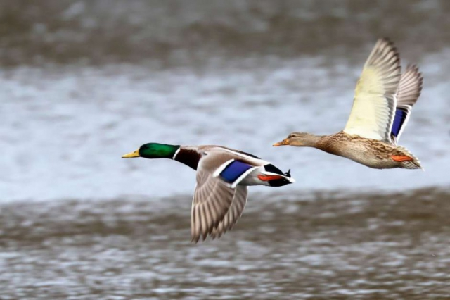 Mallard by Brian Cartwright - Dec 8th, Anton Lake