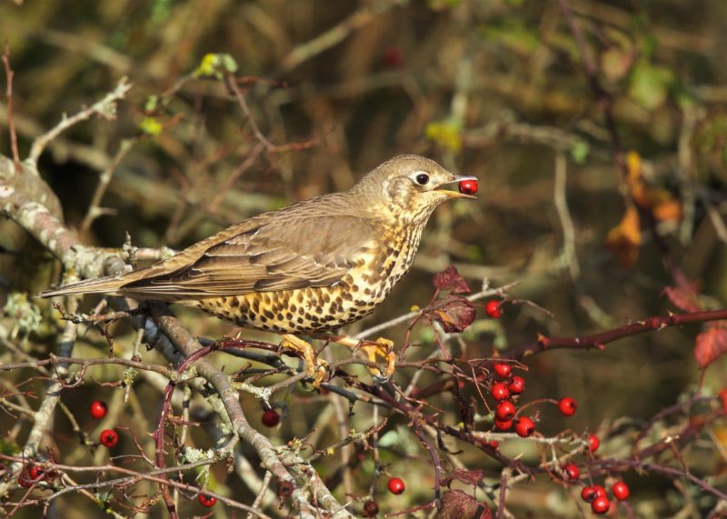 Mistle Thrush by Martin Bennett - Nov 23rd, Furze Hill