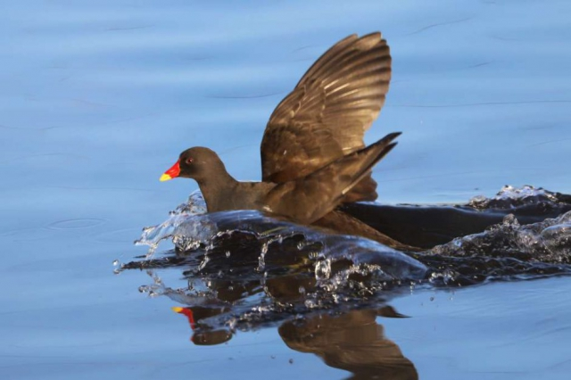 Moorhen by Brian Cartwright - Dec 4th, Anton Lakes