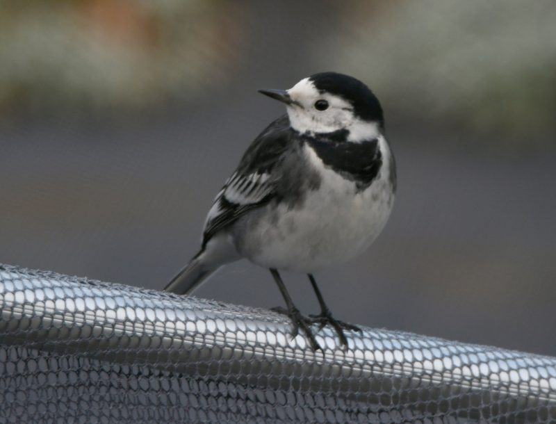 Pied Wagtail by Dave Levy - Dec 13th, Basingstoke