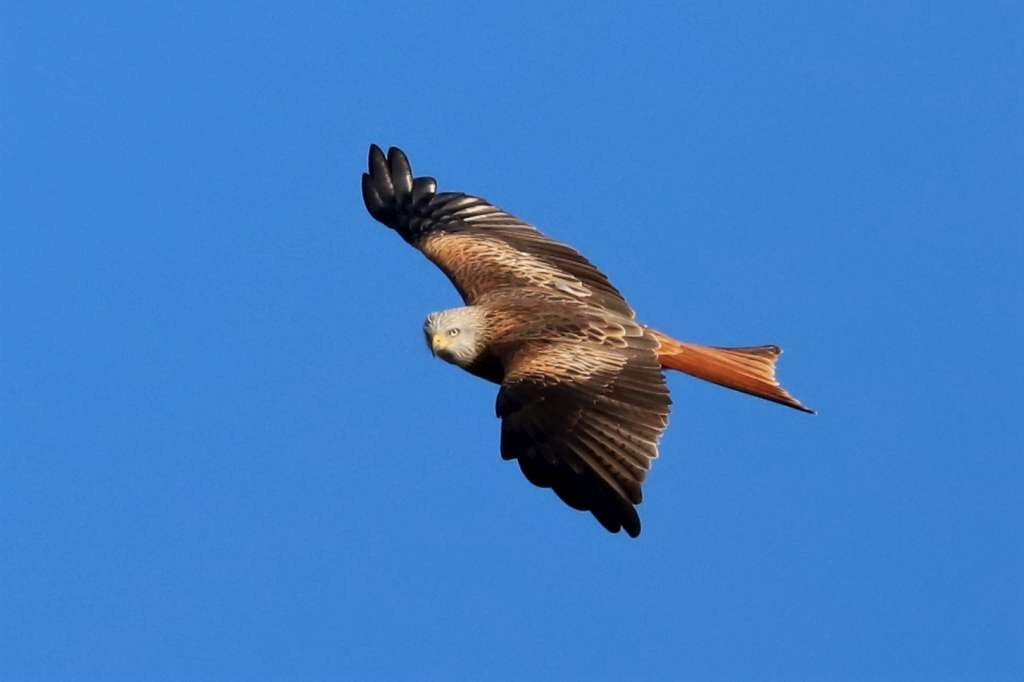 Red Kite by Brian Cartwright - Nov 25th, Weyhill