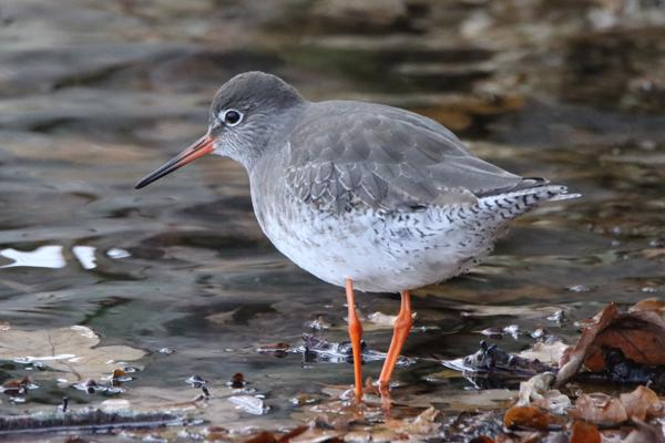Redshank by Andy Tew - Dec 8th, Pennington