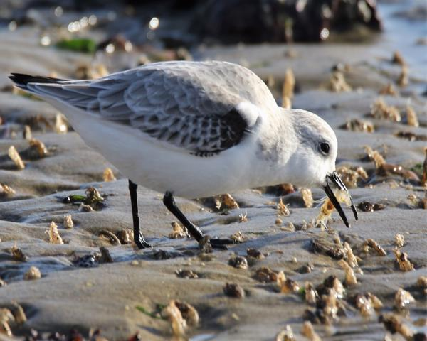 Sanderling by Andy Tew - Nov 30th, Hill Head