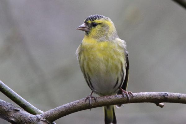 Siskin by Andy Tew - Dec 6th, New Forest