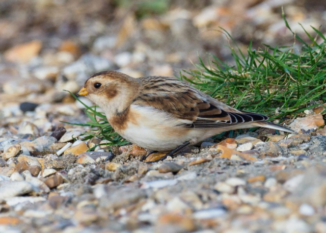 Snow Bunting by Gareth Rees - Nov 26th, Hill Head