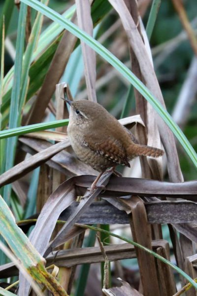 Wren by Brian Cartwright - Dec 11th, Anton Lake