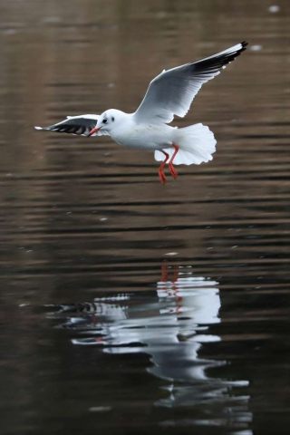 Black-headed Gull by Brian Cartwright - Jan 2nd, Anton Lakes