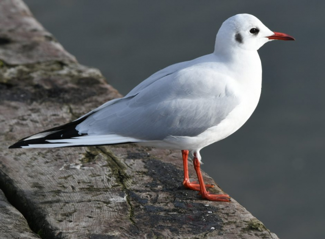 Black-headed Gull by Dave Levy - Jan 3rd, Titchfield Haven