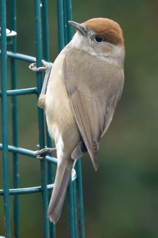 Blackcap by Brian Cartwright - Jan 16th, Anton Lakes