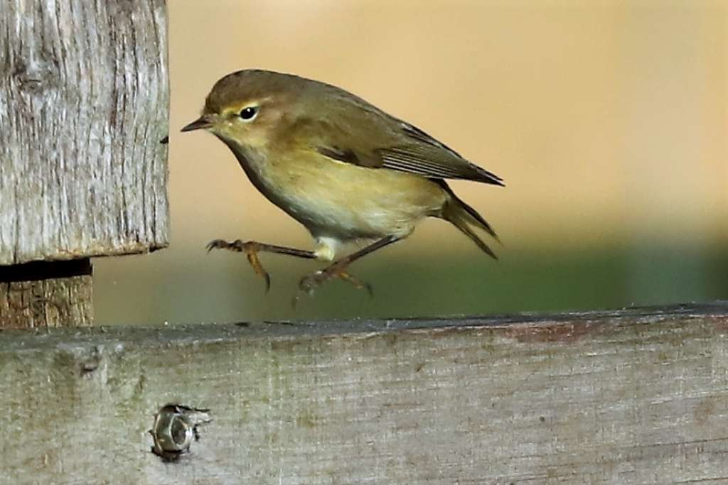 Chiffchaff by Brian Cartwright - Jan 8th, Anton Lakes