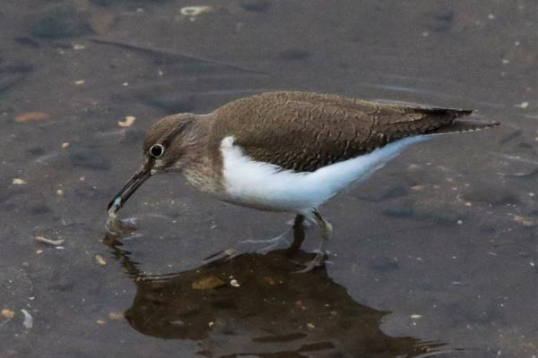 Common Sandpiper by Andy Tew - Jan 18th, Lower Test