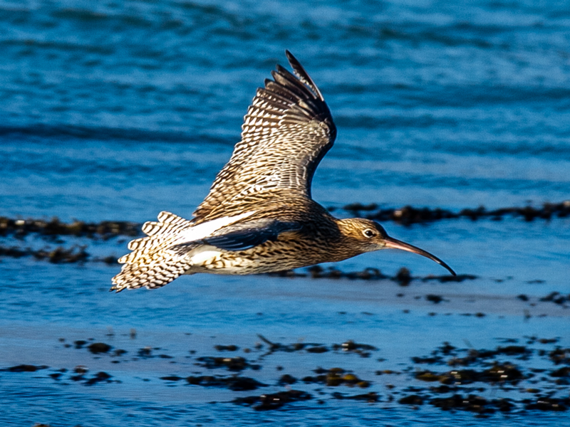 Curlew by Mike Duffy - Jan 17th, Farlington Marshes