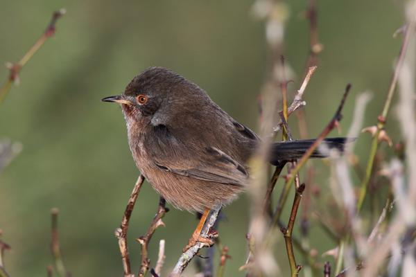Dartford Warbler by Andy Tew - Jan 8th, Normandy Marsh