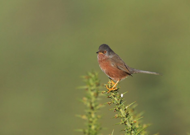 Dartford Warbler by Martin Bennett - Dec 20th, New Forest