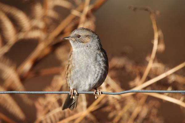 Dunnock by Andy Tew - Dec 20th, Denny Wood