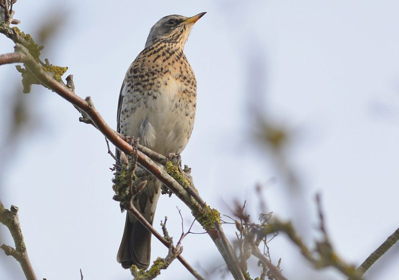 Fieldfare by Dave Levy - Jan 12th, Old Down