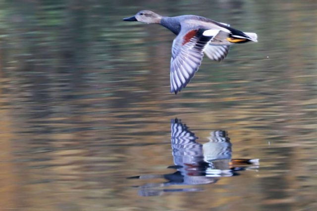 Gadwall by Brian Cartwright - Dec 29th, Anton Lakes