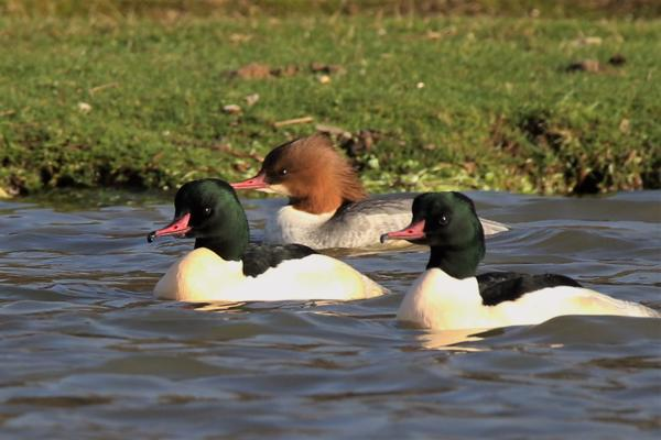 Goosander by Andy Tew - Dec 20th, Janesmoor