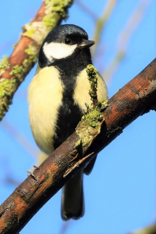 Great Tit by Brian Cartwright - Dec 20th, Anton Lakes