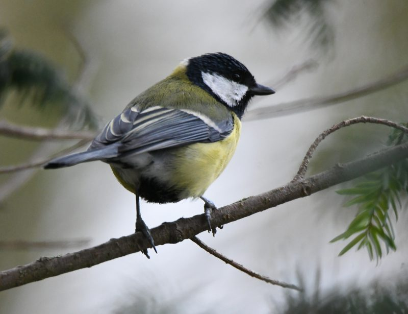 Great Tit by Dave Levy - Jan 25th, The Vyne